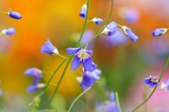 /Heliophila longifolia  (nobuflickr) Tags: flower nature japan kyoto thekyotobotanicalgarden  heliophilalongifolia persephonesgarden   20130217dsc09987