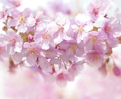 KAWAZU-ZAKURA (ajpscs) Tags: pink flower macro japan japanese tokyo spring nikon blossom cherryblossom  sakura nippon    haru  kawazu d300    izupeninsula  seasonchange  kawazuzakura  ajpscs  herecomesthespring