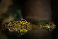 On the surface (Explored) (Bangern) Tags: light color nature water oslo norway nikon reptile crocodile caiman d800 crocodilus explored osloreptilpark