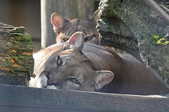 Pumas (Truus & Zoo) Tags: netherlands animals zoo nederland best puma panther cougar mountainlion bestzoo dierentuin pumaconcolor catamount poema leastconcern bergleeuw zilverleeuw