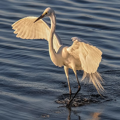Morning Display (Susan Hall Frazier) Tags: white birds wings birding birdwatching greategret metering isladelsol photomix stpetersburgflorida floridabirds bocaciegabay nikond300 naturesharmony blinkagain bestofblinkwinners blinksuperstars morningdisiplay