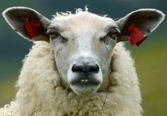 Angry sheep.jpg (Tommy Hyland) Tags: white green closeup looking sheep farmer headandshoulders greenbackground oneanimal animalhead devilsheep funnylookingsheep badsheep redeartag sheepwithforeteethshowing