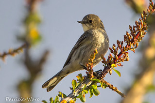 The Wherever Warbler