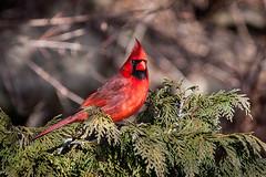 Cardinal (Justin Lo Photography) Tags: life red tree green bird nature birds animal animals cardinal wildlife feathers evergreen cardinals