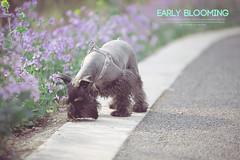 Early blooming-II () Tags: early schnauzer nanjing sniffer blooming the miniatureschnauzerterrier