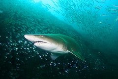 Coming Right At Me! (PacificKlaus) Tags: shark underwater australia scuba diving newsouthwales marinelife greynurseshark
