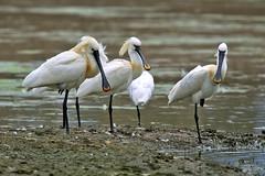 SPATOLE (d.carradori) Tags: italy uccelli fotografo danilo fotografare flickrsbest acquatici eliteimages fotoclubilbacchino carradori