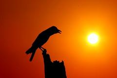 Crow at Golden Hour - #23032013-IMG_1312a (photographic Collection) Tags: morning sky sun india sunrise canon golden photographic collection hour glowing 365 crow rise chennai tamilnadu goldenhour sarma 550d kalluri t2i photographiccollection bheemeswara bkalluri bheemeswarasarmakalluri