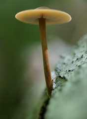 Crinipellis zonata (eyelyft) Tags: ohio mushrooms fungi fungus forests mycology oldgrowth naturepreserves