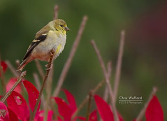BUrning Goldfinch (Chris Wofford) Tags: chris bird fall gold bush bokeh wildlife goldfinch burningbush wofford