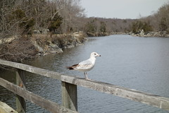 Ring-billed Gull (jdf_927) Tags: bird gull maryland cocanal larusdelawarensis ringbilled