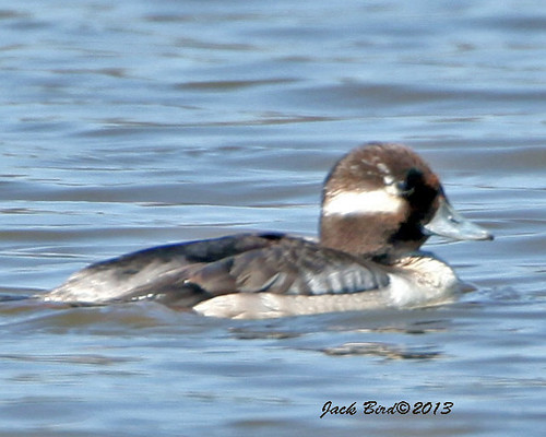 Bufflehead By Jack Bird