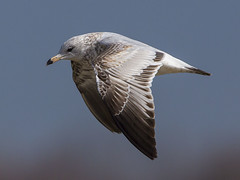 RING-BILLED GULL (nsxbirder) Tags: ohio flight immature bantam ringbilledgull larusdelawarensis eastforkstatepark