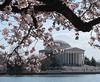 Sakura at the Jefferson (langkawi) Tags: dc washington spring memorial cherryblossom sakura jefferson langkawi kirschbluete 2013