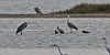 Th13_05268a (jerryoldenettel) Tags: bird thailand spoonbill blackfacedspoonbill pelecaniformes plataleaminor threskiornithidae platalea 2013 bangtaboon bangtaboonmarshes