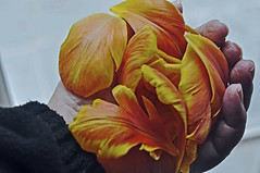 Handful of petals (IngeHG) Tags: flowers home petals hand tulips belgium handful t189522013weeks1516