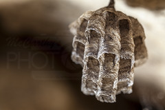 Paper Wasp Nest (McCarthy's PhotoWorks) Tags: macro nature paper insect wasp nest wildlife queen hornet supermacro colony entomology vespidae petiole polistesdominula