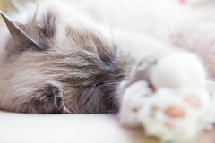 Nausicaa, day dreaming (KeyGripBoy) Tags: sleeping pet animal cat furry depthoffield catnap birman bluepoint
