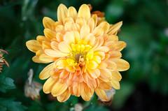 564 - Dahlia quarta feira ( mercredi ) (-Virtuelle-) Tags: dahlia plant flower nature fleur plante natureza perfectpetals weloveallflowers
