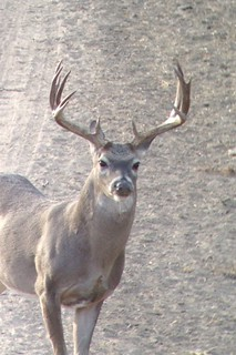 Texas Free Range Whitetail Hunt - Cotulla 32