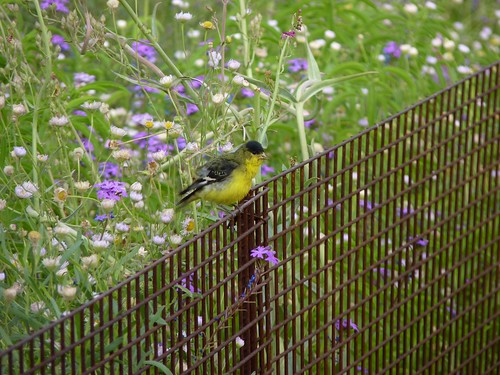 Lesser Goldfinch in the Garden