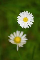 Aspettando il sole (Sgnaps) Tags: flowers macro primavera d200 fiori margherite