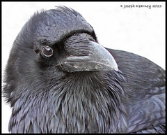 Common Raven (JosephK2012) Tags: bird birds ab alberta raven banffnationalpark commonraven