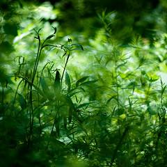 Across Forest Floors 006 (noahbw) Tags: light shadow summer abstract blur grass forest square landscape woods nikon dof natural dreamy dreamlike hellernaturecenter d5000 noahbw