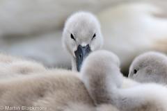 Cygnets 53425 (wildlifetog) Tags: cygnets isleofwight mute southeast swan mbiow martin blackmore bird birds british canon european eos7dmkii rydecanoelake