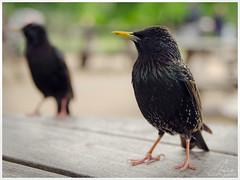Would you like a starling, darling? (milanlantos) Tags: starling bird photography nature wildlife sigma 1750 nikon d5100