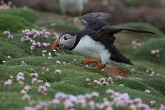 _MG_9886.jpg (helmutfaugel) Tags: schottland fairisle grosbritannien europa vogel 2016 shetland papageientaucher orte