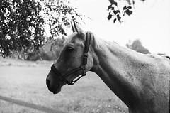 amazing white horse (art.megi) Tags: horse ko analog film bw animal zenitb