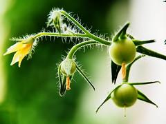 Hairy and sweating (guenther_haas) Tags: tomato stem hairy harig stengel stngel blten pflanze weiss grau weisshaarig grauhaarig haarig haare white grey haired hairs green grn olympus omd em5 mzuiko 14150mm tomaten garden garten tomatoes schwitzen schwitzend sweat sweating schweiss blossom neuulm germany deutschland