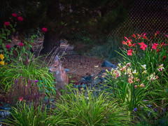 Fawns & Flowers (Colormaniac too) Tags: summer summertime garden deer fawn flowers colorful daylily monarda beebalm nature backyard sequim olympicpeninsula pacificnorthwest distressedtextures
