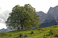 Zugspitzort Grainau - Auerorts (11) (Pixelteufel) Tags: grainau bayern bavaria alpen urlaub ferien freizeit erholung ruhe tourismus baum weide weideland viehweide felsen felswand felsgestein gebirge bergwelt