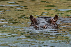 I'm watching you (Petr Skora) Tags: hroch mood zoo zve hippo nature animal water praguezoo