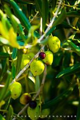 MIDI III (J#K) Tags: provence france midi south landscape olive animal animaux