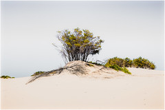 Signs of life in a harsh Australian Environment (Chas56) Tags: australia victoria wilsonspromontory wilsonsprom desert sanddunes sand dunes coast dry arid landscape australianlandscape canon canon5dmkiii minimalism trees shrubbery vegetation ngc