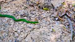 Tambopata National Reserve, Peru (ser_is_snarkish) Tags: peru southamerica tambopata river jungle animal fauna