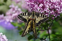 Schwalbenschwanz (Aah-Yeah) Tags: schwalbenschwanz swallowtail papilio machaon schmetterling butterfly tagfalter paarung marquartstein achental chiemgau bayern