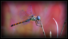 Garden Visitor (J Michael Hamon) Tags: odonata dragonfly bug insect macro hamon nikon d3200 nikkor 40mm nature closeup photoborder vignette garden