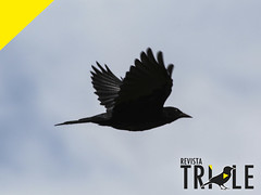 Tordo (revistatrile) Tags: revista trile chile fauna biodiversidad ave aves bird birdwathing chilean