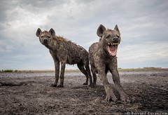 Hyenas (Burrard-Lucas Wildlife Photography) Tags: hyena zambia zambiawildlife safari