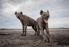 Hyenas (Burrard-Lucas Wildlife Photography) Tags: hyena zambia zambiawildlife safari