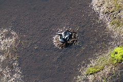 Arctic Loon nest, aerial photo (Jared Hughey) Tags: wild animal wildlife landscape scenery wilderness nature bird mammal research science nationalparkservice beringlandbridgenationalpreserve sewardpeninsula westernarctic northwest alaska
