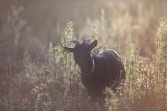 (Sitoo) Tags: cabra goat contraluz rural animal mirandoacmara curiosidad curiosa curious atardecer sunset canon70200f28l