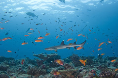 MAL_338 (Alltravels Maldives) Tags: carcharhinidae horizontal maayathila maldives republicofmaldives requiemshark shark southariatoll themaldives triaendon triaenodonobesus uwc underwater whitetipreefshark refelction requiem underwaterchannel whitetipshark