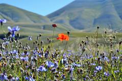 Diverso.    Different. Diffrentes (giovanni tiezzi) Tags: poppy mountain flowers campaign color cornflower papavero fiordaliso campagna fiori montagne colori umbria italia castellucciodinorcia bleuet coquelicot