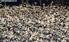 Snow Geese Blast Off Front And Rear (freshairphoto) Tags: snow geese blast off migration flight middle creek pennsylvania kleinfeltersville nikon d70 300mm telephoto tripod