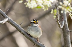 2016 White-throated Sparrow 7 (DrLensCap) Tags: whitethroated sparrow montrose point bird sanctuary chicago illinois il robert kramer